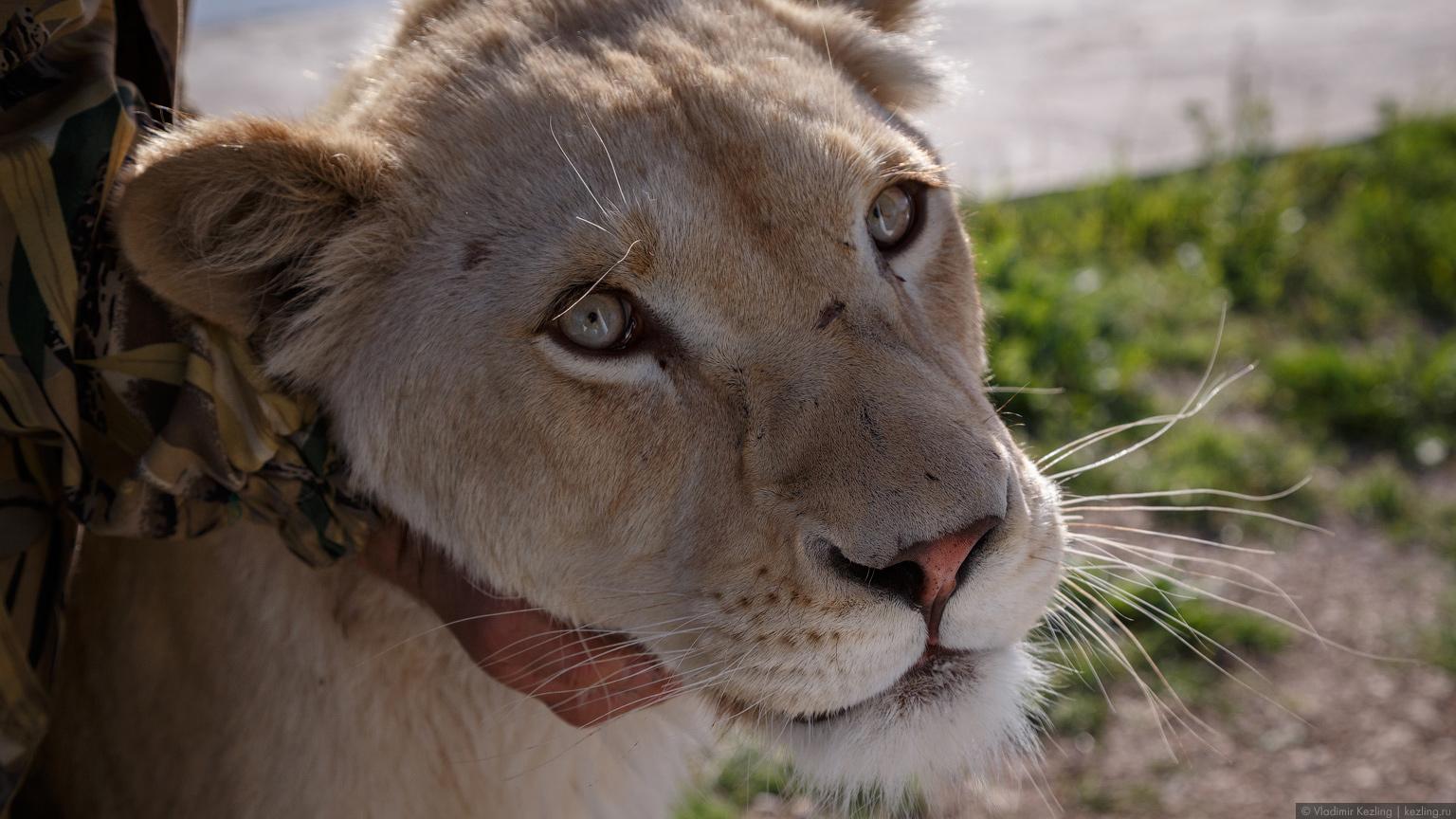 Парк львов «Тайган» — самое захватывающее место Крыма