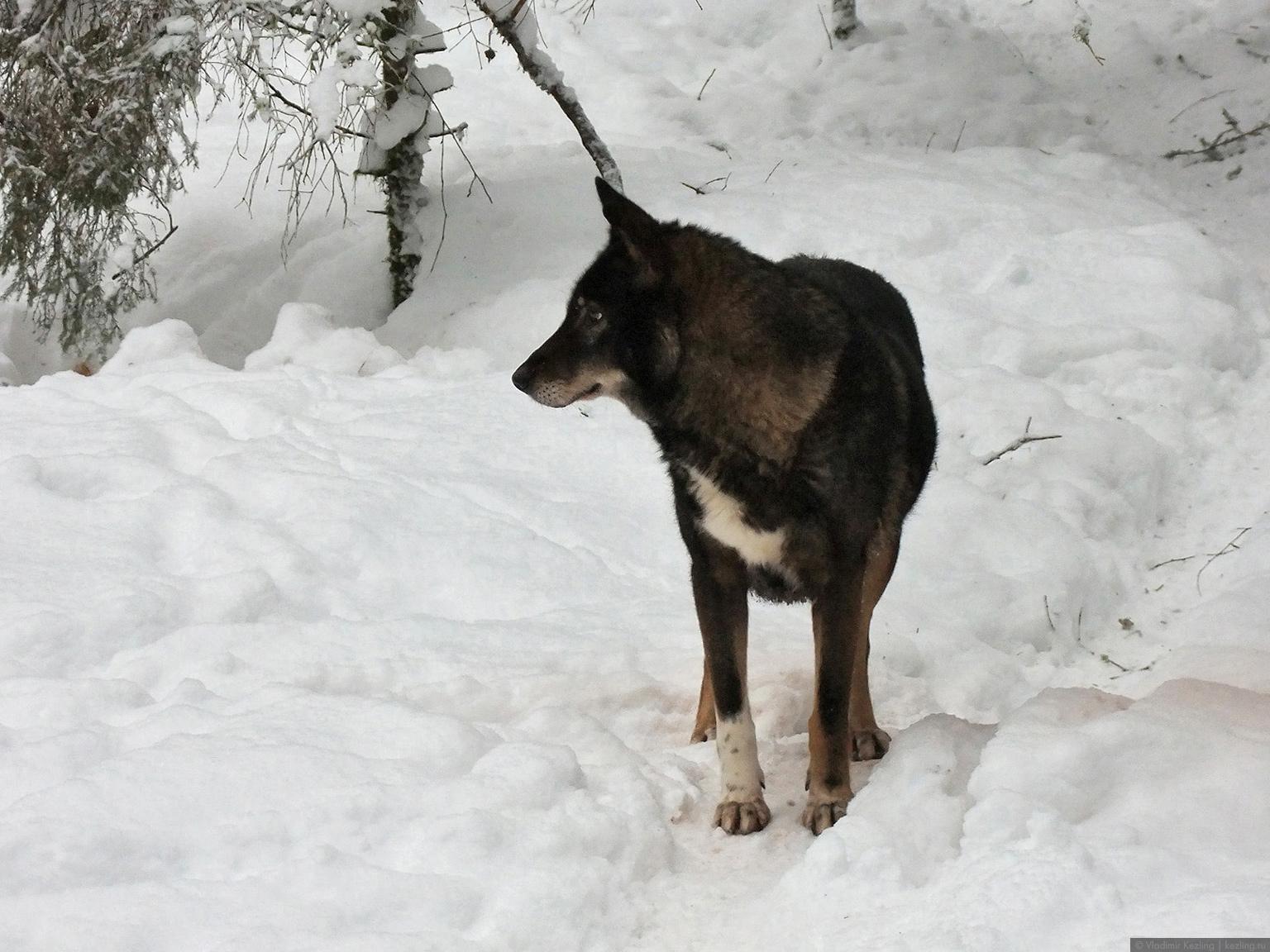 Собаковолк